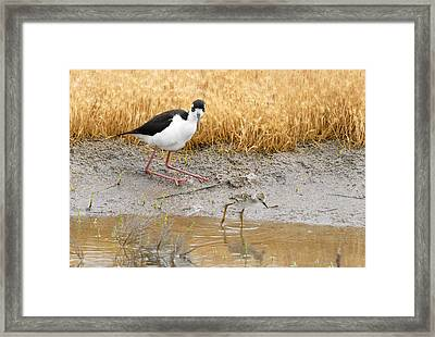 Black Necked Stilt With Chick Framed Print by Dennis Hammer