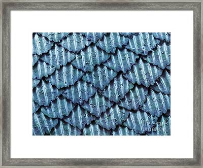 Blacktip Reef Shark Skin, Sem Framed Print by Ted Kinsman