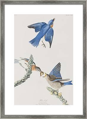 Blue-bird Framed Print