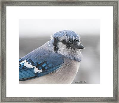 Blue Jay In A Blizzard Framed Print