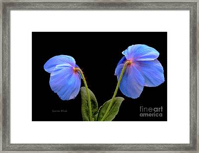 Blue Poppies Framed Print by Jeannie Rhode