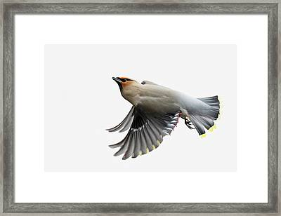 Framed Print featuring the photograph Bohemian Waxwing  by Mircea Costina Photography