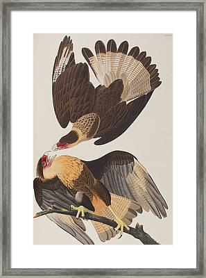 Brasilian Caracara Eagle Framed Print by John James Audubon