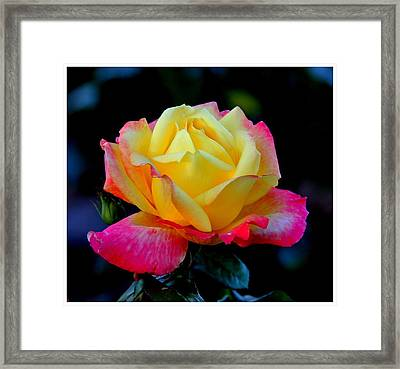 Brilliant And Bold Framed Print by Frank Wickham