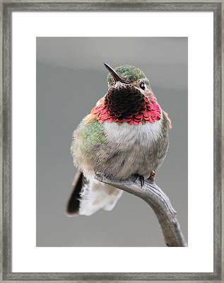 Broad-tailed Hummingbird Framed Print by Shane Bechler