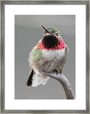 Broad-tailed Hummingbird Framed Print