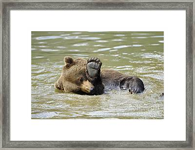 Brown Bear Bathing Framed Print by David & Micha Sheldon