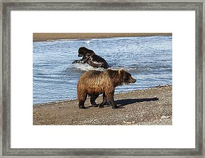2 Brown Bears Fishing Framed Print by David Wilkinson
