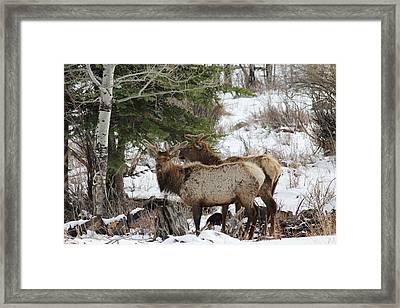 2 Bull Elk In May Snowstorm Framed Print by David Wilkinson