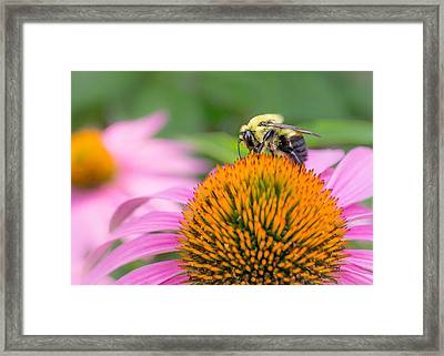 Bumble Bee On Coneflower Framed Print by Jim Hughes