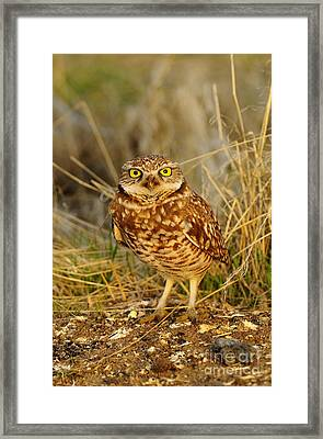 Burrowing Owl Framed Print by Dennis Hammer
