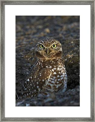 Burrowing Owl Framed Print by Doug Herr