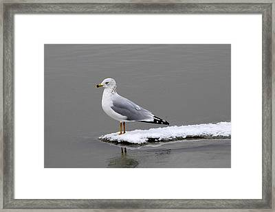 California Seagull Framed Print by Dennis Hammer