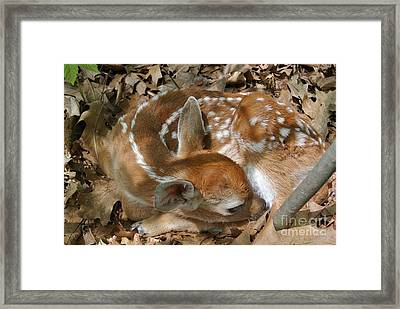 Camouflaged Fawn Framed Print