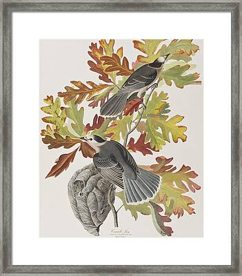 Canada Jay Framed Print by John James Audubon