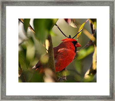 Cardinal 2 Framed Print by Todd Hostetter