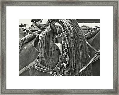 Carriage Horse Beauty Framed Print by Dressage Design