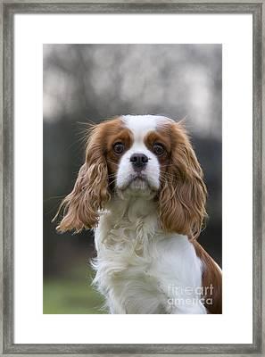 Cavalier King Charles Spaniel Framed Print