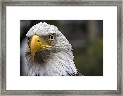 Challenger The Bald Eagle Framed Print by Robert Ullmann