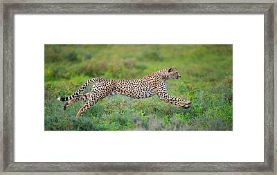 Cheetah Acinonyx Jubatus Hunting Framed Print