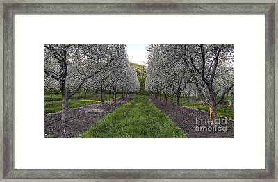 Cherry Blossoms In Traverse City Framed Print by Twenty Two North Photography