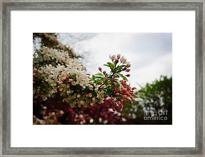 Cherry Tree Framed Print