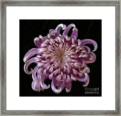 Chrysanthemum 'jefferson Park' Framed Print