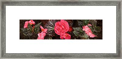 Close-up Of Pink Flowers In Bloom Framed Print by Panoramic Images