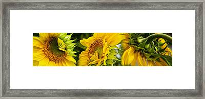 Close-up Of Sunflowers Framed Print