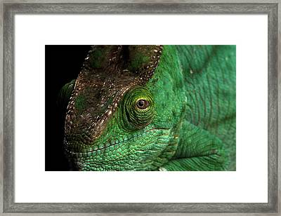 Closeup Parson Chameleon, Calumma Parsoni Orange Eye On Black Framed Print by Sergey Taran