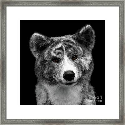 Closeup Portrait Of Akita Inu Dog On Isolated Black Background Framed Print