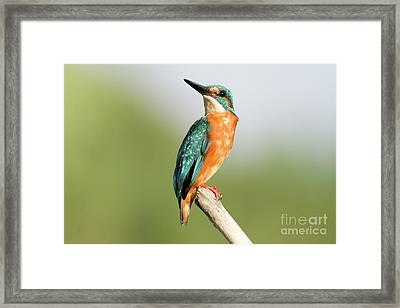 Common Kingfisher Alcedo Atthis Framed Print