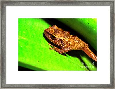 Coqui In Bromeliad Framed Print by Thomas R Fletcher