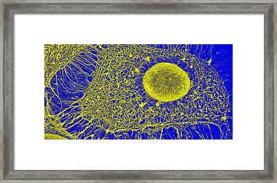 Cytoskeleton, Sem Framed Print