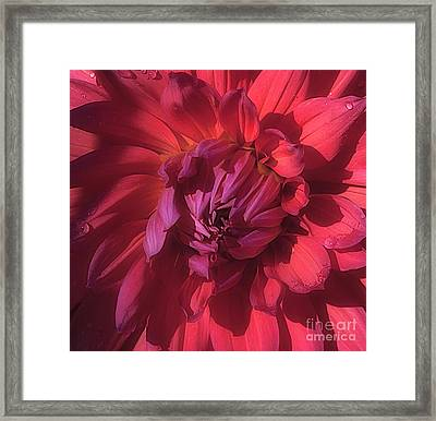 Dahlia 'wyn's King Salmon' Framed Print