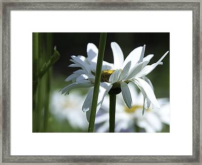Daisy Framed Print by Svetlana Sewell