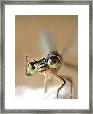 Framed Print featuring the photograph Damsefly by Lorella  Schoales