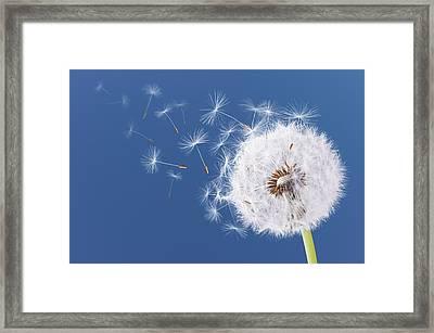 Dandelion Flying On Blue Background Framed Print