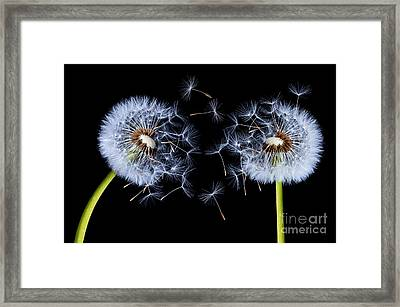 Dandelion On Black Background Framed Print by Bess Hamiti
