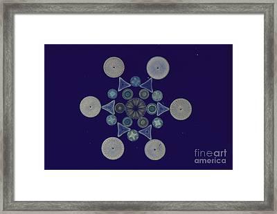 Diatom Arrangement Framed Print by M. I. Walker