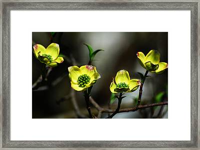 Dogwood Blossoms Framed Print
