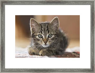 Domestic Cat Felis Catus Kitten Framed Print by Konrad Wothe