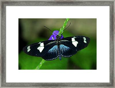 Doris Longwing Butterfly Framed Print