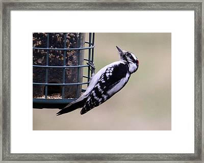 Downy Woodpecker Framed Print by Annie Babineau