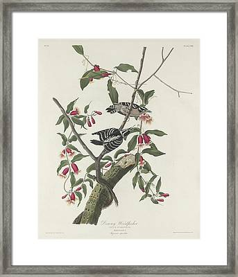 Downy Woodpecker Framed Print by Rob Dreyer