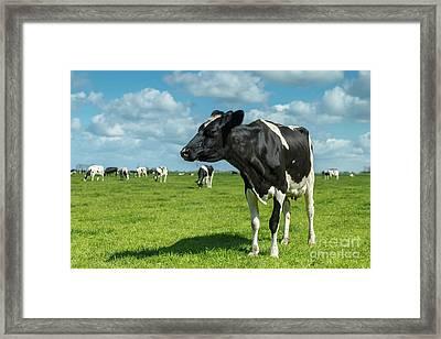 Dutch Cow Framed Print
