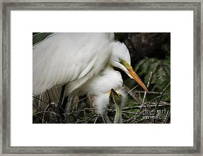 Egret With Babies Framed Print