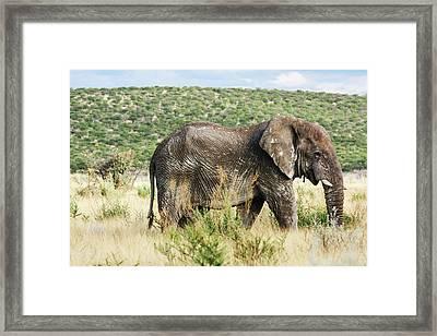 Elephant Framed Print by Laetitia Becker