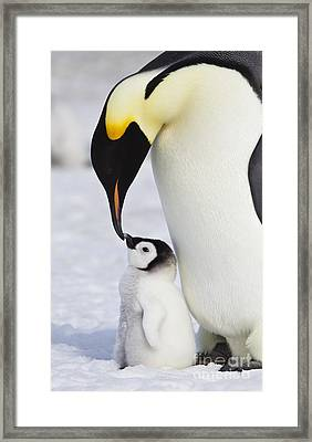 Emperor Penguin And Chick Framed Print
