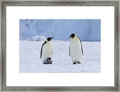 Emperor Penguins And Their Chick Framed Print